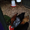"Notice the hanging feeder and hanging waterer.  I was most excited to discover this improved way to feed and provide water to the chicks on the  <a href=""http://www.thegardencoop.com"">http://www.thegardencoop.com</a> site. <br />  The 3gal. bucket has nipples inserted in the bottom of the bucket that the chicks jiggle with their beaks to produce a dribble of water.  Those smart gals only needed to be shown one time and they got it."