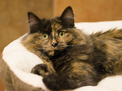 "Madeline is the only kitten at the westminster petsmart. With this face, I""m sure she won't be there long."