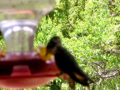 humming bird16