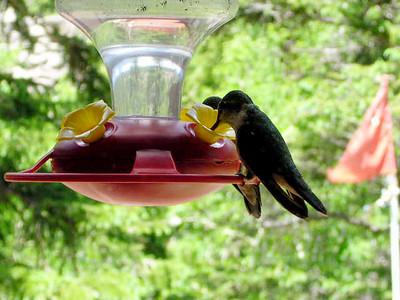 humming bird15