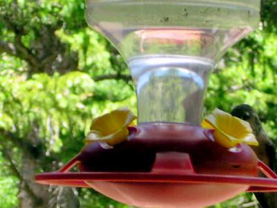 humming bird8