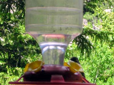 humming bird5
