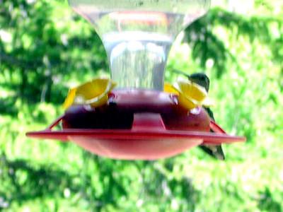 humming bird1