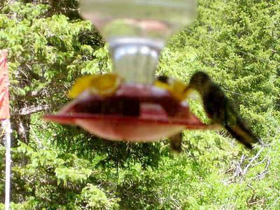 humming bird14