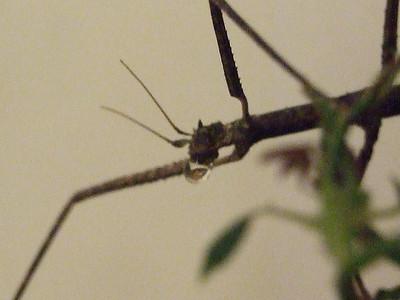 insects- phasme et la goutte d'eau