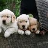 buggy pups