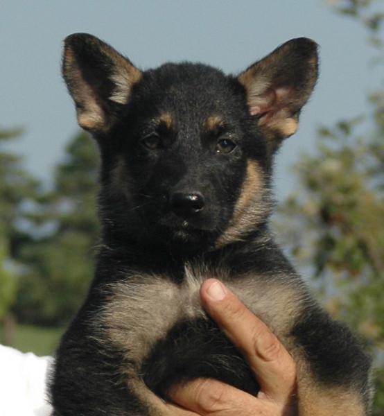 Jesse vom Geistwasser (yellow collar female): 7 weeks old