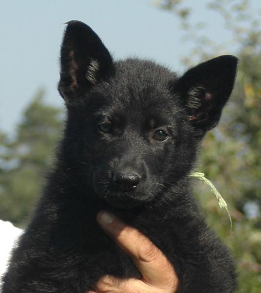 Jayda vom Geistwasser (green collar female): 7 weeks old