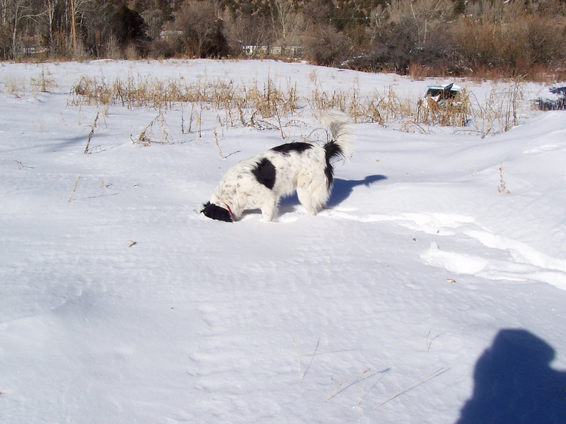 Jester burrowing under the snow to sniff out any critters hiding underneath.