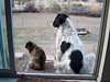 Bonnie and her big buddy Jester keeping an eye on their back yard.