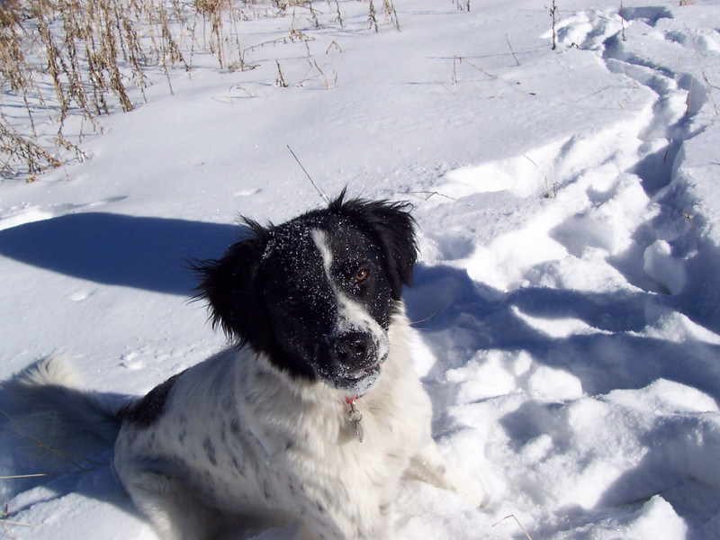 A snow covered head is what Jester earns for snooping through the snow for anything that might be hiding underneath!