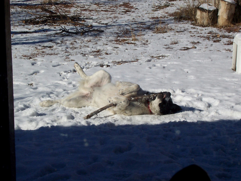 Jester playing with a stick of firewood in the snow (Winter 2007).