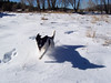 Jester runs through deep snow at the new house. The snow was about 12-16 inches deep (30-40 centimeters).