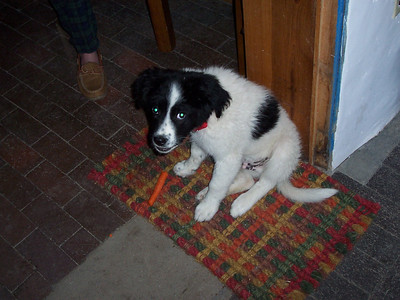 Jester at 14-weeks-old is enjoying one of his favorite treats.... a carrot!