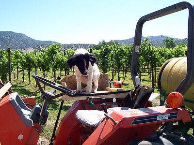 Jester on his first ride on the tractor in the vineyard (June '07). His custom platform attached to the fender of the tractor gives him more room to enjoy the ride.