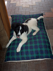 Jester at 15-weeks-old checks out his new dog bed. He was using one of the cat beds but was getting too big and had his legs and head all hanging off on all sides.