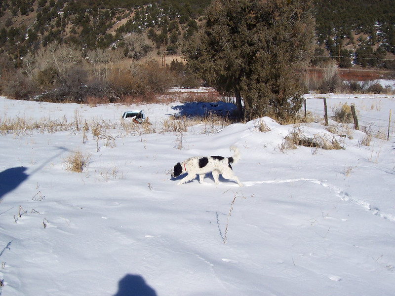Jester walking in the deep snow at the new house. The snow was about 12-16 inches deep (30-40 centimeters).