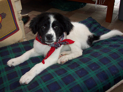Jester at 15-weeks-old: After a bath he wears his new bandanna and gets ready for a nap.