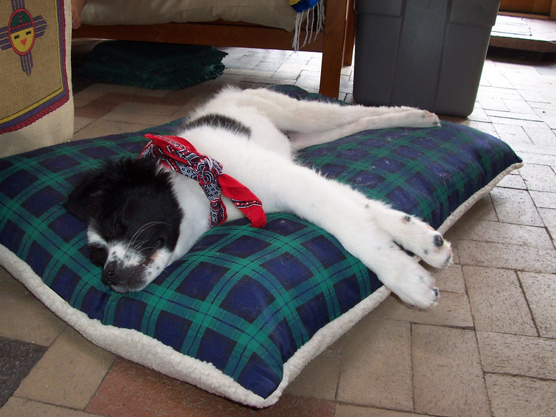 Jester at 15-weeks-old: After a hard day of play and a bath he wears his new bandanna and takes a nap.