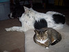 Vespa was hogging Jester's bed when he decided to try to reclaim at least half of it for himself. Vespa wasn't too happy to have to share even though it is not supposed to be her bed anyway!