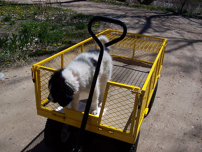 Jester at 12-weeks-old. He doesn't like riding in the wagon.