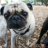 Some pugs were not camera-shy at all.