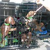 Unloading a van at Enterprise, AL. These pups came from Greenville and Monroe Co. AL.