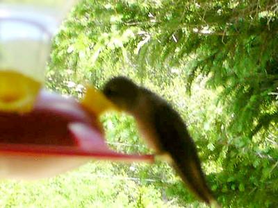 humming bird13