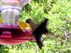 humming bird18