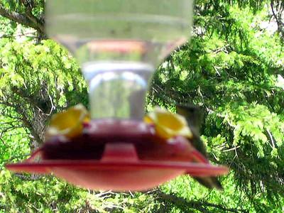 humming bird2