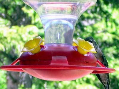 humming bird9