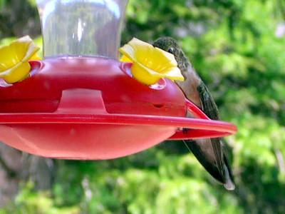 humming bird10