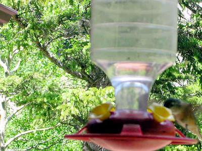 humming bird6