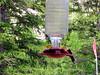 humming bird3