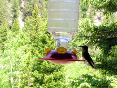 humming bird11