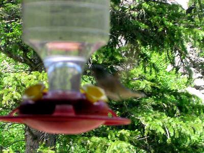 humming bird7