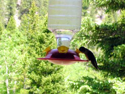 humming bird12