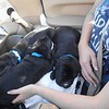 3 pups on Melanie's lap... sound asleep, often times with jerky REM sleep as they dream!