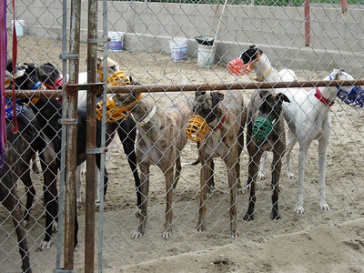 The females:  Katie on the extreme right ((white greyhound with the red collar, blue muzzle).