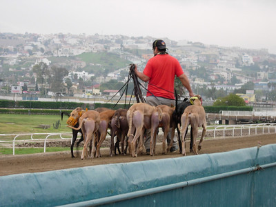 Greys being walked on the track.