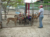 Females waiting to be loaded into a dog trailer.  Katie is standing in back; her head is just to the left of the first leash on the left.