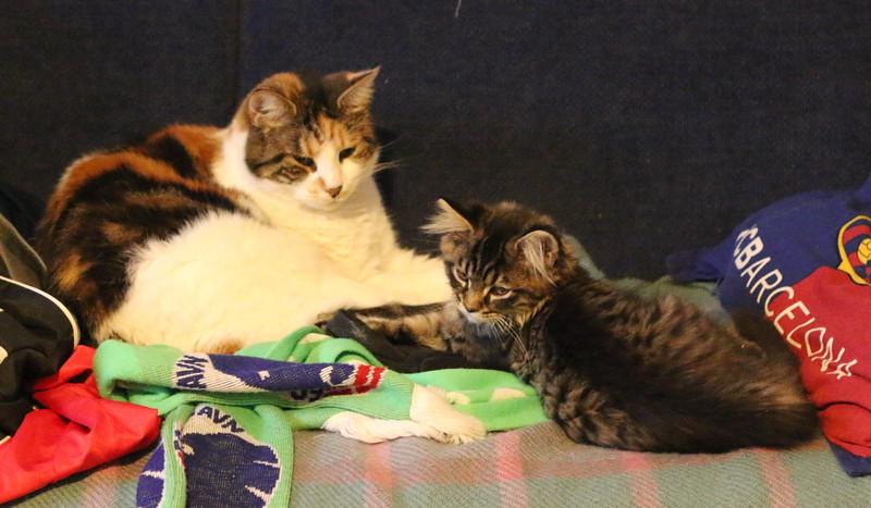 Kattekilling, Kitten, Maine Coon, Kato, Cat, Kat