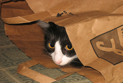 "Boychik waits for another cat to walk by so he can POUNCE! I call this photo - ""Chik in a bag"" :-)"
