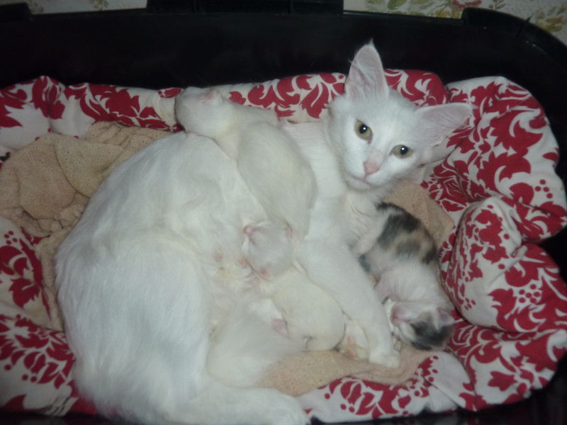 Gülnaz and her kittens - Gülnaz et ses bébés