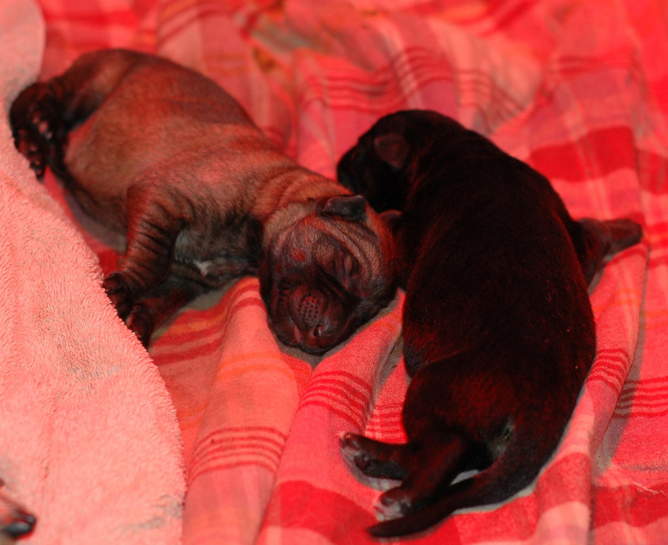 Sable boy and dark b/t boy at one day old