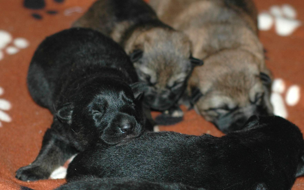 L litter puppies: 12 days old