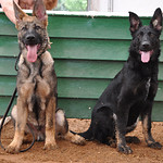 Lucky (aka Shadow) and Luna vom Geistwasser, five months old