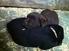 Lab puppies cuddled up