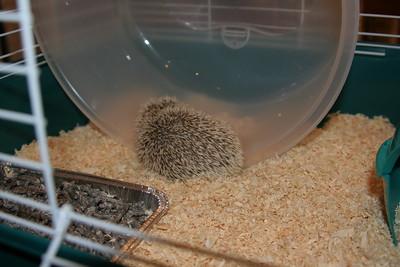 Lady Veronica - Hedgehog