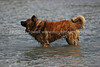 Snapshot gallery of images of a Leonberger. Images acquired as RAW files and have been batch processed for display on the web.  Images Copyright © 2008 J. Andrew Towell All Rights Reserved. Please contact the copyright holder at troutstreaming@gmail.com to discuss any and all usage rights.